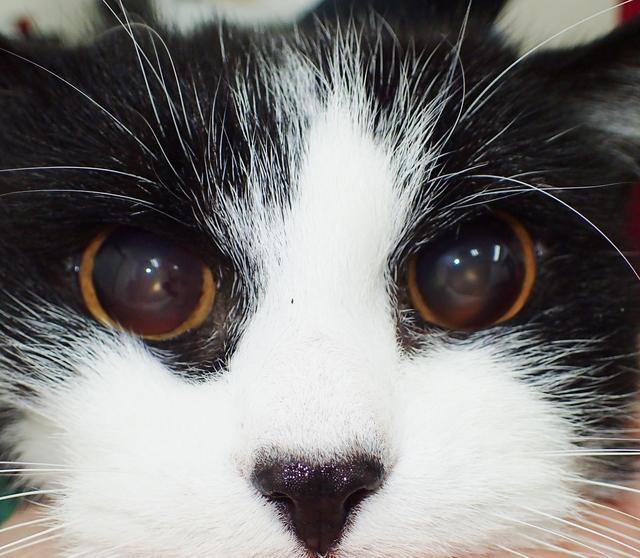 高齢の猫ちゃん、黒目が大きくなったままでした。 原因は心臓病・高血圧による目への影響でした。